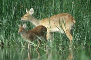 DSCTraining.org chinese water deer picture