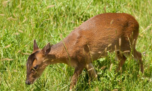 DSCTraining.org muntjac deer picture
